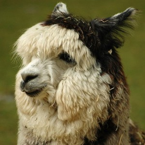 Alpacas: not just cute and fluffy, but also really delicious (by Kyle Flood, via Wikimedia Commons: https://en.wikipedia.org/wiki/File:Alpaca_headshot.jpg)