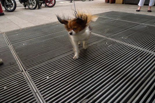 A small dog on a lead stands on top of a ventilation grille on the street in Milan, its ears and hair b