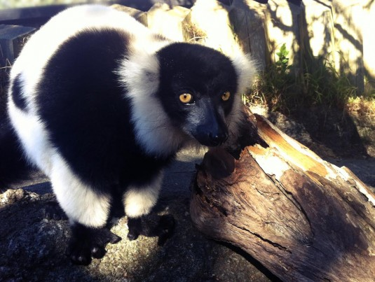 lemur by itself