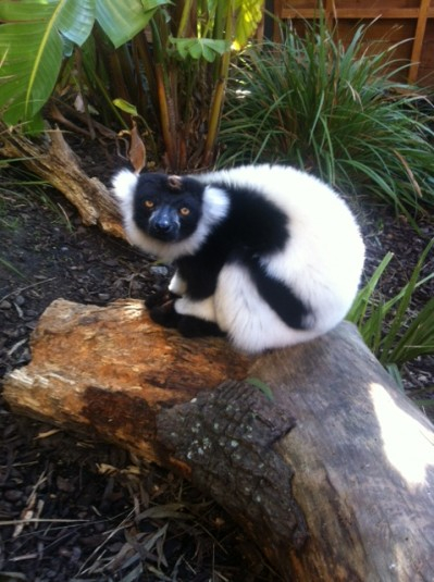 A lemur on a log